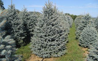 Crystal Spring Tree Farm Christmas Trees For Sale
