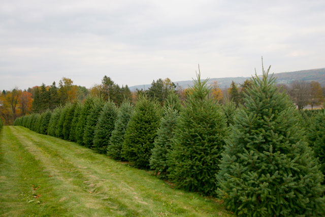 Christmas Trees