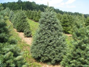 Concolor Christmas trees