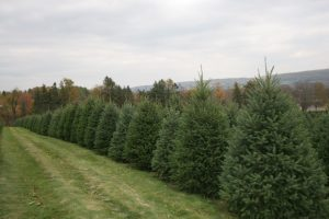 Douglas Fir Christmas Trees