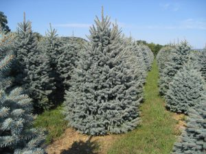Spruce Christmas Trees
